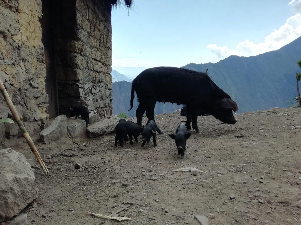 Petite famille de cochons péruviens au sommet d'une montagne. Trek au pérou
