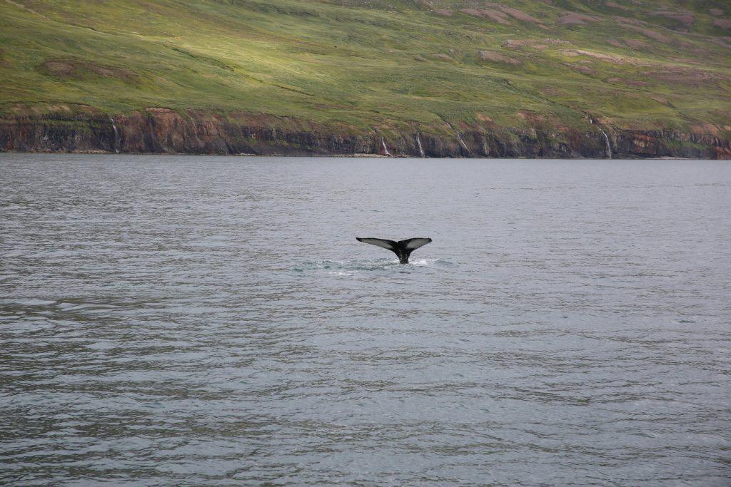 Voyage en Islande _ le balais des baleines